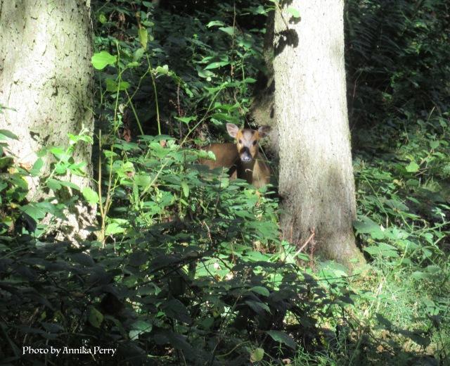 """""""Muntjac deer peering from undergrowth in woodland."""""""